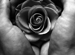 Two hands holding a rose, picure in black and white