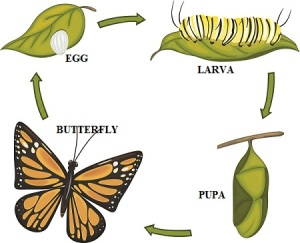 life-cycle-of-butterfly